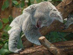 Koala napping   Permanent Jobs Maidstone
